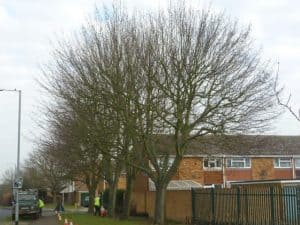 Sycamore before 30% reduction