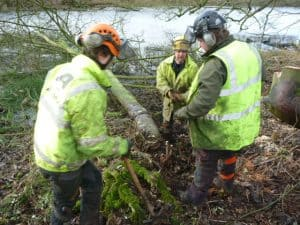 Preparing a felled sycamore for winching