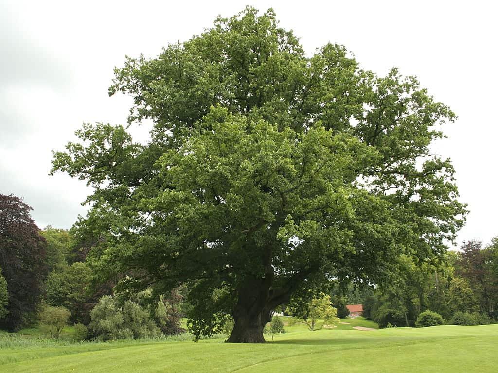 Our Native trees –  English Oak (Quercus Robur)