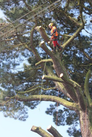 Case Study- Large tree removal